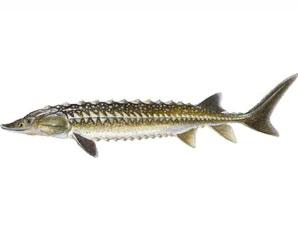 Рыбалка на осетра зимой качестве рыбы следует